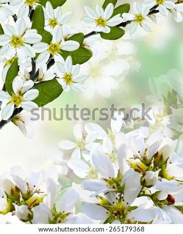 beautiful blooming branch of bird cherry - stock photo