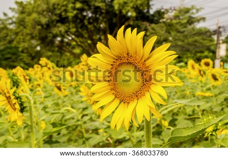 beautiful  blooming sunflowers,big sunflowers ,Unseen Thailand flowers,yellows flowers - stock photo
