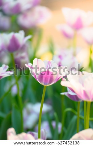 Beautiful bouquet of tulips. colorful tulips.