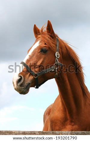 Beautiful brown thoroughbred horse head at farm. Head shot of a chestnut horse. Portrait of nice brown bay horse  - stock photo