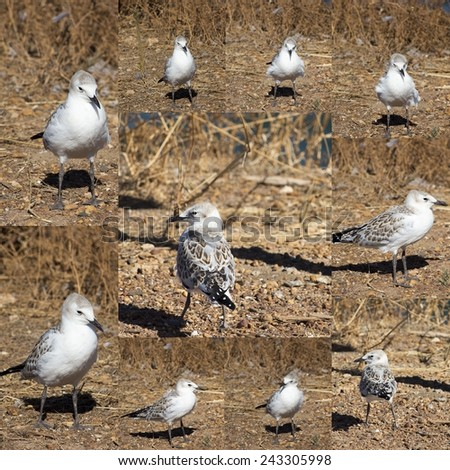 Beautiful collage of an Australian  seagull   seabird of family Laridae in sub-order Lari  young  brown speckled chick  standing on the bare ground on a hot summer afternoon. - stock photo