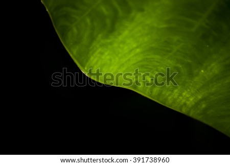 beautiful curve green leaf Black background fine art  - stock photo