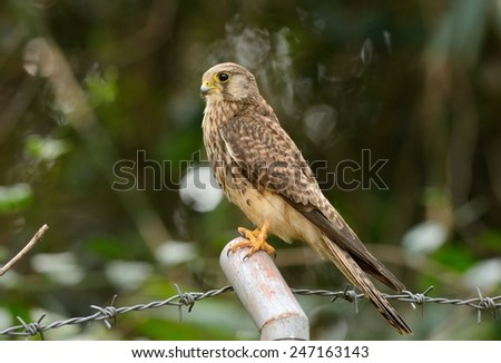 beautiful female Common Kestrel (Falco tinnunculus) standing on ground