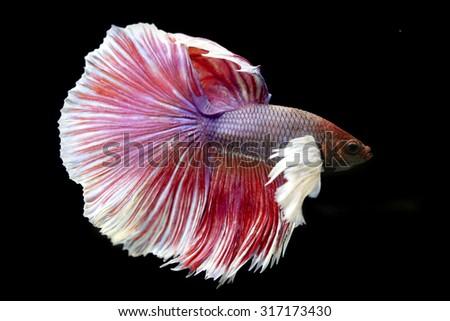?Beautiful fighting fish isolated on black background. Betta fish - stock photo