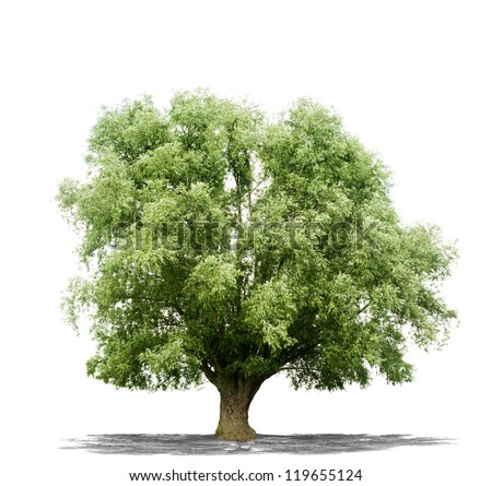 Beautiful green tree isolated on a white background in high resolution - stock photo