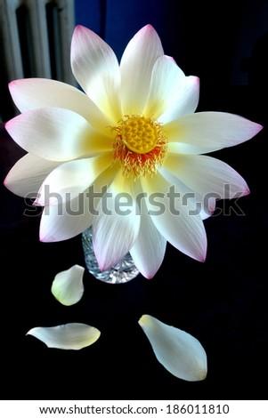 Beautiful Lotus Flower Vase Stock Photo Royalty Free 186011810