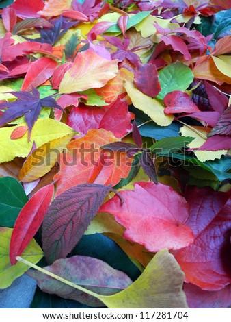 beautiful mixture of autumn leaves - stock photo