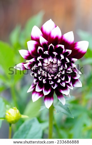Beautiful of purple Garden Dahlia flower - stock photo