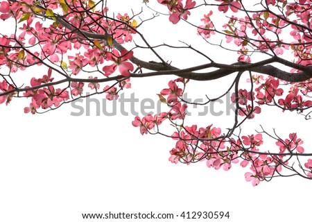 beautiful pink dogwood blossoms on white background  - stock photo