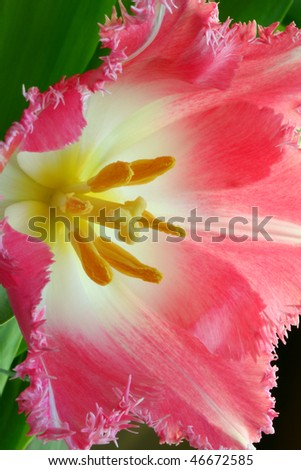 Beautiful pink tulip close-up
