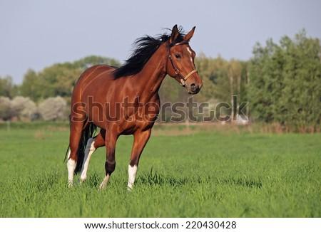 Beautiful pinto horse runs on green meadow - stock photo