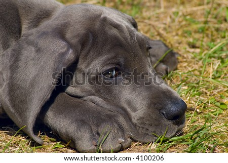 Beautiful puppy of great dane