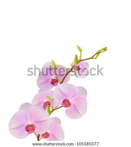 beautiful  purple orchids blooms on white background