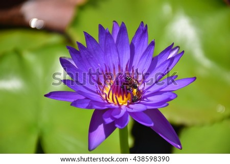 Beautiful purple water lily with bee on pollens in morning, sunlight, sun-ray  - stock photo