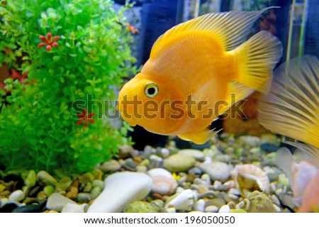 Beautiful red parrot (cichlid) in an aquarium