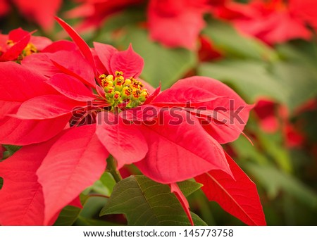 beautiful red poinsettia with more in the background - stock photo