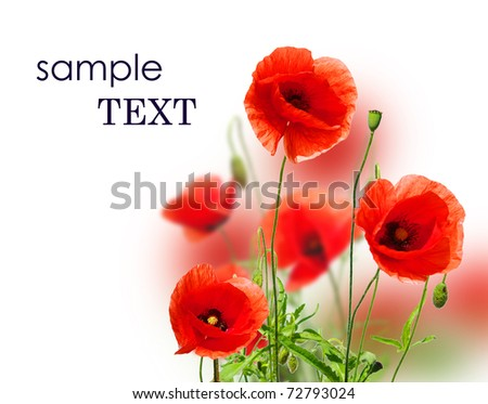 beautiful red poppies isolated on white - stock photo