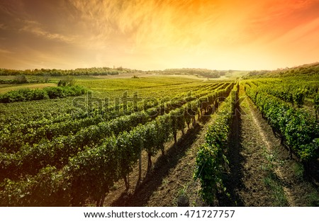 Beautiful scenic vineyard with sunset sky