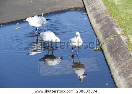 Beautiful seagulls  seabirds of the family Laridae in the sub-order Lari  reflected in the  puddle is enjoying a cool sip of water  in the parking area of the park on a sunny summer afternoon. - stock photo