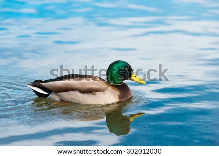 beautiful sense of ducks floating at pond with a reflecting. - stock photo