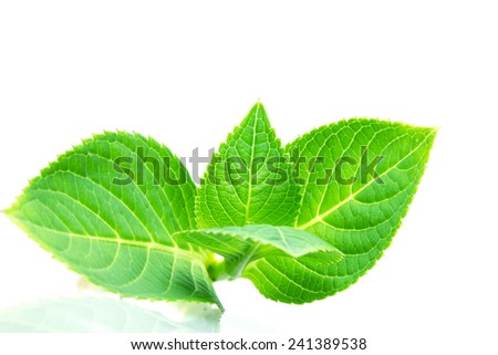 beautiful shape of green leaf  branch on white background , selective focus - stock photo