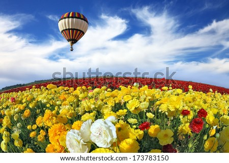 Beautiful spring weather, beautiful big balloon flies over the field. The huge field of white, red and yellow buttercups (Ranunculus asiaticus). The picture was taken Fisheye lens - stock photo