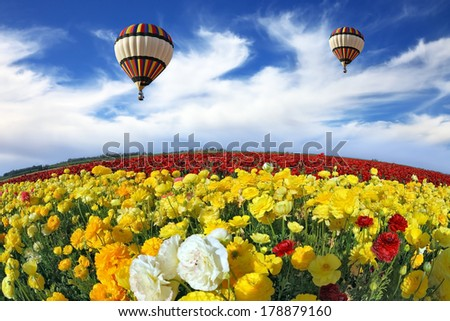 Beautiful spring weather, two beautiful big balloons flying over the field. The huge field of white, red and yellow buttercups (Ranunculus asiaticus). The picture was taken Fisheye lens - stock photo