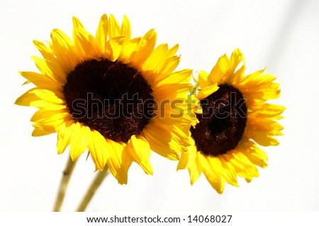 beautiful sunflowers under the sun - stock photo