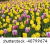 Beautiful tulips on Canadian Tulip Festival in Ottawa - stock photo