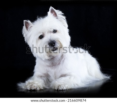 Beautiful White West Highland Terrier Isolated on Black Background - stock photo