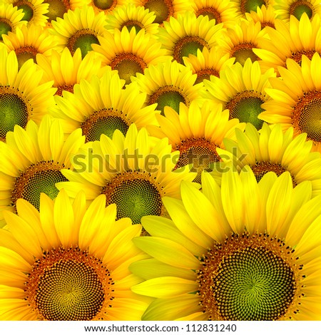 beautiful yellow colorful sunflower petals closeup background