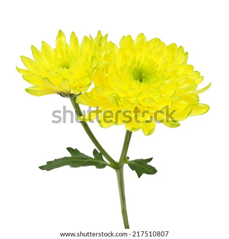 Beautiful yellow flowers isolated on white background