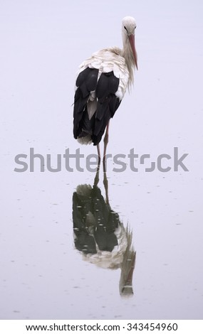 Beauty White Stork with Reflection in Water