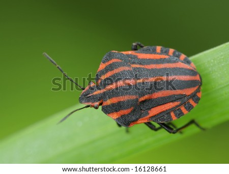 Bedbug sits on a grass.  Insecta \ Hemiptera \ Pentatomidae \ Graphosoma lineatum - stock photo