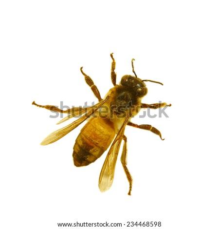 bee isolated - stock photo