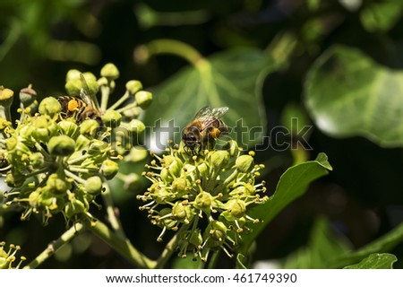 Bee on a ivy blossom