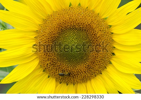 Bee on a sunflower in a field in a summer  daylight