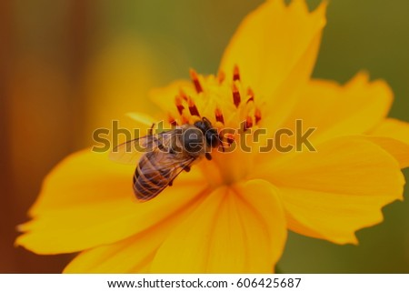 bee on starburst flower,The flowers are yellow-orange.