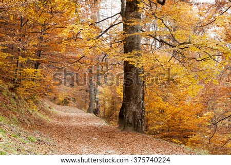 Beech forest on the slopes of the Carpathian Mountains in the fall.