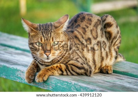 Bengal cat lying on green bench