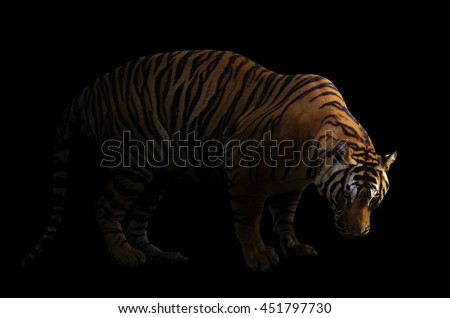 bengal tiger in dark background with spotlight