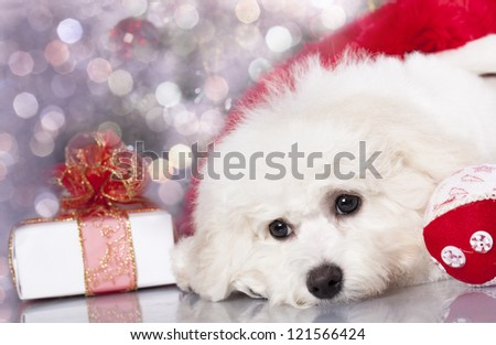 bichon frise puppy dog and and New Year gift - stock photo