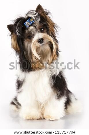 biewer Yorkshire  terrier - stock photo