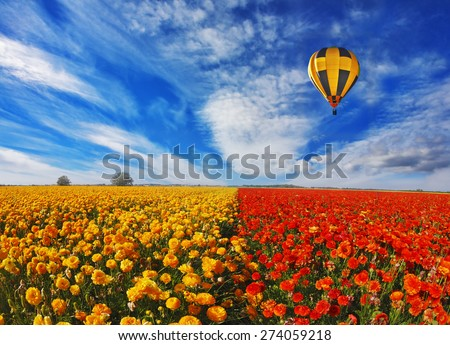Big balloon flies over field of flowering.  Blooming red and yellow buttercups in spring in Israel - stock photo