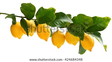 Big branch of lemon tree with lemons isolated on white background. Collage. - stock photo