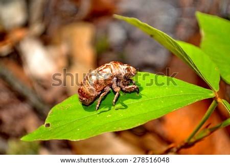 big cicada sitting on a leaf   - stock photo