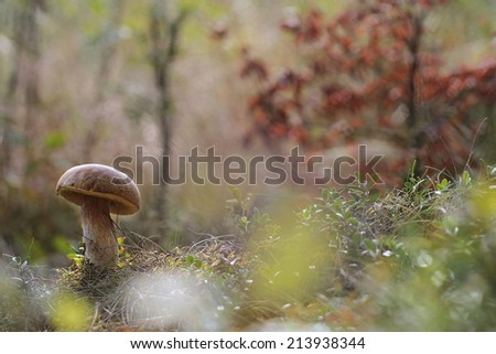big edible mushroom - boletus, porcini - stock photo