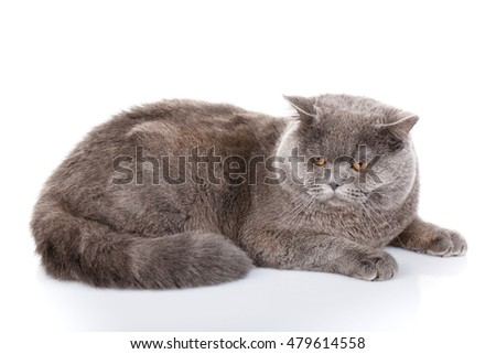 big gray british straight cat lying on a white background, not look to the camera