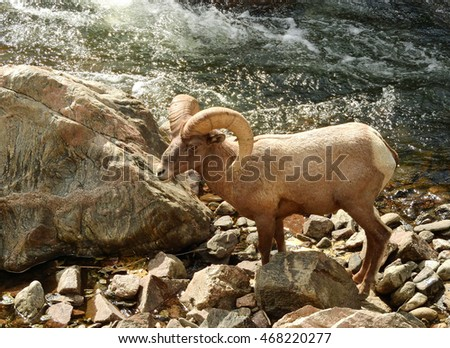 big horn sheep ram along the south plate River  in waterton canyon, colorado