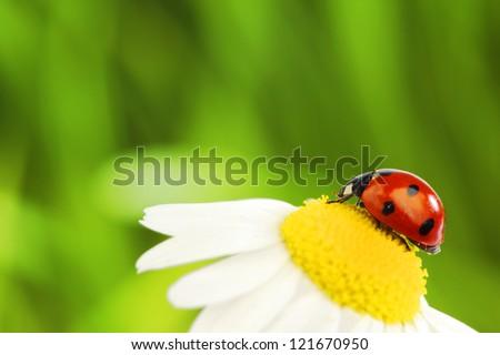 big red ladybug on camomile grass background - stock photo